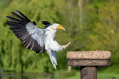 Egyptian Vulture (parry101) Tags: bird nature birds animal animals for centre international vultures egyptian prey vulture icbp