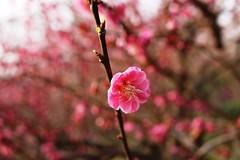 Plum blossom (vermillionhorizon) Tags: china shanghai plumblossom centurypark