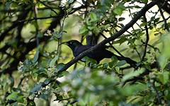 Black Bird (Litratistica Images NYC) Tags: camera nyc newyorkcity usa newyork tree green bird nature prospectpark streetphotography chick birdsnest streetphotographer canon70200 canoneos5d earldolphy litratisticaimages cherrydolphy