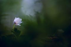 Anemone nemorosa (MichaSauer) Tags: flower macro forest dark spring anemone 3s makro wald f4 buschwindrschen windflower 150mm anmonesylvie