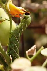 Tomato hornworm (cricketsblog) Tags: lepidoptera sphingidae animalia arthropoda tomatohornworm insecta manduca manducaquinquemaculata hexapoda pterygota sphinginae bombycoidea fivespottedhawkmoth sphingini taxonomy:class=insecta taxonomy:order=lepidoptera taxonomy:kingdom=animalia taxonomy:phylum=arthropoda taxonomy:subclass=pterygota taxonomy:family=sphingidae taxonomy:subphylum=hexapoda taxonomy:binomial=manducaquinquemaculata taxonomy:superfamily=bombycoidea taxonomy:common=tomatohornworm taxonomy:genus=manduca taxonomy:subfamily=sphinginae taxonomy:tribe=sphingini taxonomy:species=quinquemaculata taxonomy:common=fivespottedhawkmoth