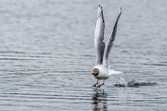 I'm an Osprey (Sd_neo) Tags: england unitedkingdom flight gb silverdale blackheadedgull leightonmoss