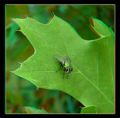 Green Bottle Fly with Spit Bubble Brunch- Anaglyph 3D (DarkOnus) Tags: macro green closeup insect lumix fly stereogram 3d bottle pennsylvania spit anaglyph blow panasonic stereo bubble brunch stereography buckscounty dmcfz35 darkonus