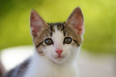 Moustique (aej) Tags: chat cat animal kitten bokeh small chaton kitty colors nature sunlight soleil couleurs color fur paws paw curious green striped sky animals cats kittens catkin chatons chats flou blur daylight regard eyes eye tail white grey