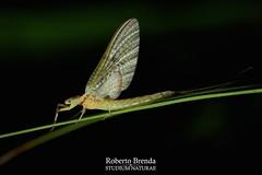 Ephemera glaucops subimago female, effimera della famiglia Ephemeridae. (Roberto PE) Tags: ephemera ephemeroptera ephemeridae glaucops