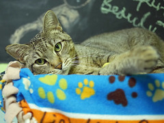 Joey_04 (AbbyB.) Tags: rescue pet cat newjersey feline shelter adopt adoptable shelterpet petphotography easthanovernj mtpleasantanimalshelter