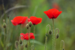 beauty in the fields (Deirdre moments (busy studying/ catching up)) Tags: red flower nature maastricht may natuur explore deirdre mei 80 wildflower rood klaproos papaver bloem 2016 bosscherveld wildebloemen wildebloem wildebloemenveld deirdremoments 28may2016