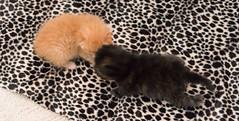 IMG_9458 (jaglazier) Tags: usa cats playing cute animals babies unitedstates tiger may indiana kittens siblings bloomington mammals blackie 2016 52416 copyright2016jamesaglazierandjamesaferguson