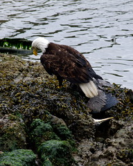 IMGP4710 (annahesser) Tags: blue heron eagle great bald