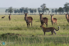 Species (grimaux.jordan) Tags: africa wild tree nature grass animals feline kenya kobe leopard padres species savannah prey predator scape hyena panthera