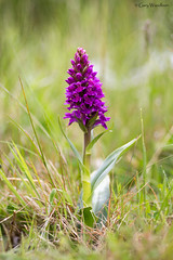 Northern Marsh Orchid ? - Embleton, Northumberland (Gary Woodburn) Tags: orchid flower macro canon purple sigma northumberland marsh 100 northern quarry 6d embleton