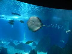DSCN0322 (pablo.modo) Tags: portugal lisboa peces animales raya acuario