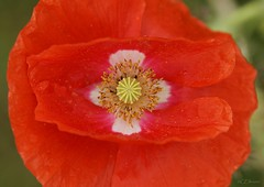 Mohn  / poppy (6) (Ellenore56) Tags: light sunlight inspiration plant flower color colour detail macro reflection texture nature garden botanical licht perception flora blossom magic sunday natur pflanze perspective struktur structure poppy bloom flowering imagination moment blume makro blte magical farbe reflexion garten sonntag flowerpower perspektive reflektion augenblick mohn florescence botanik klatschmohn mohnblume textur faszination sonnenlicht mohnblte bloomy sichtweise klatschrose pflanzenwelt ellenore56 sonyslta77 12062016