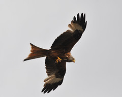 Red Kite (gwahambarker) Tags: red kite