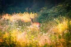 Deer '16 (R24KBerg Photos) Tags: morning dawn sunrise deer doe nature animal outdoors mammal northcarolina nc greenvillenc 2016 canon wildlife