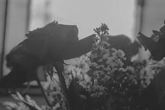 IMG_4154 (Josy'ta) Tags: rose rosas rosascolombianas flowers flores flor diadosnamorados love