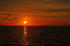 Seagulls in Sunset (tommyr68) Tags: ocean sunset sea tampa nikon florida seagull d60