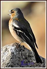 Fringuello (Fringilla coelebs) (michelangelo11) Tags: sardegna mountain nature birds animals fauna nikon sardinia natura uccelli montagna barbagia gennargentu desulo