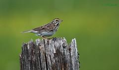 Bruant des prs - Savannah sparrow (ricketdi) Tags: bird venosta bruant savannahsparrow passerculussandwichensis bruantdesprs sunrays5