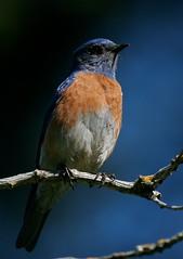 Western Bluebird (andrewj1882) Tags: mexicana western bluebird sialia