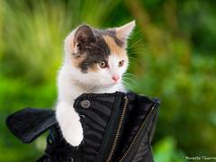 La petite de la maison. (musette thierry) Tags: composition cat nikon chat animaux thierry couleur d600 musette