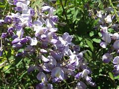 1590 Wisteria pendant raceme (Andy panomaniacanonymous) Tags: 20160603 fff flowers garden ggg pendantraceme ppp raceme rrr wisteria www