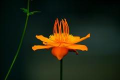 """トロリウス・キネンシス /Trollius chinensis Bunge (nobuflickr) Tags: bunge blossoms"""" trolliuschinensis 咲くやこの花館 """"awesome redmatrix sublimeflowershot trolliuschinensisbunge 20160528dsc00871 トロリウス・キネンシス キンポウゲ科トロリウス属"""