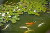 B36C6373 (WolfeMcKeel) Tags: park new city vacation fish flower nature water gardens garden mexico botanical spring high pond flora downtown desert landscaping albuquerque flowering 2016