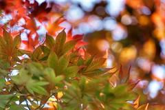 Maple leaves (JPShen) Tags: sunlight leaves leaf maple bokeh mapleleafbokeh