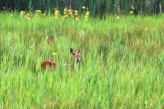 Red deer in the wild (robin denton) Tags: nature wildlife deer reddeer leightonmoss rspbreserve
