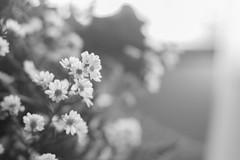 IMG_4148 (Josy'ta) Tags: rose rosas rosascolombianas flowers flores flor diadosnamorados love