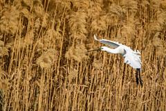 In for a landing (malc1702) Tags: spoonbills birds largebirds birdsinflight nature migratorybirds outdoors wingspread landing nikond7100 tamron150600