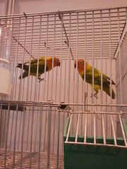 My Pets (Not-The-Average-Bohemian) Tags: pets bird nature colors birds fun colores pjaros budgie lovebirds lovebird mascota mascotas budgies agapornis personata flickrandroidapp:filter=none personatalovebird
