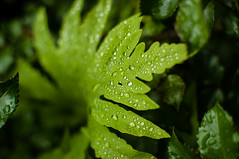 Fern after a rain (Emaru) Tags: fern green nature beautiful rain droplets jewels