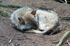 Wolf (-Julia_) Tags: cute love nature beautiful animal canon germany outside photography eos nice wolf day sleep best photograph today 1100d