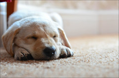 Milo - The New Family Member - Explore #10 (Stuart-Saunders) Tags: dog puppy labrador retriever