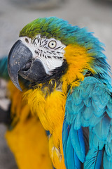 Profile of a perched macaw (Tambako the Jaguar) Tags: blue two green bird yellow zoo nikon colorful profile parrot perched macaw frauenfeld d4 plttli