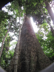 Ancient Tree (CharlesRay2010) Tags: tree photography cameroon