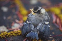 First flight (Lana Isabella) Tags: macro bird nature birds fly spring feathers babybird