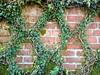 Diamond Pattern Vine on Brick Wall (Lynn Friedman) Tags: fav 94118 nobody vine trained diamondpattern sanfrancisco presidioheights uprez