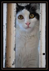 Vinnie (Janinegh21) Tags: portrait cats pets cute animals cat eyes furry nikon kitten feline kittens gatos felines ilovemycat katzen cutecats vinnie longhaired funnycats funnyanimals blackandwhitecat ilovemypet blackandwhitecats petsandanimals longhairedcats catsonly blackandwhitekittens fluffykittens ilovemykitten catmoment animalandpets