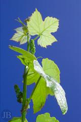 JBRO_20130610_0079 (Bravo .) Tags: plant flower garden small grape vitis