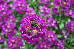 Carpet of flowers (oshita946) Tags: flowers garden carpet purple alyssum
