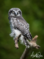 Northern Hawk Owl (TheApertureMan) Tags: birds falcon raptors birdsofprey falconry sionhall sionhallfalconrycentre