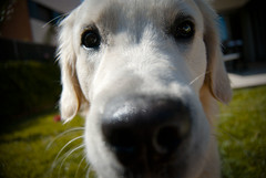 dog face (Georgina Inglavaga) Tags: dog golden retriever perro primer plano