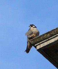 A Peregrine's perch... (SteveJM2009) Tags: uk light sun colour tower june evening high clocktower dorset falcon perch bournemouth peregrine lansdowne plumage stevemaskell falcoperegrinus 2013