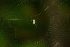 Orchard Spider & Web (Odonata457) Tags: spider orchard lucaugevenusta