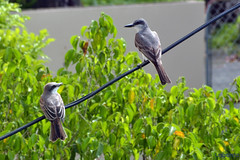 The conversation outside of my window (glaborde) Tags: birds puerto rico pr redlegged zorzal thursh