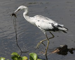 Little Blue Heron with lunch (Bill Jacomet) Tags: park blue heron spring texas state bend little 1st first brazos 2013
