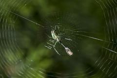 Spider eating series 2 (Richard Ricciardi) Tags: spider eating web spinne araa  araigne ragno timeseries     gagamba    nhn  spidertimeseries